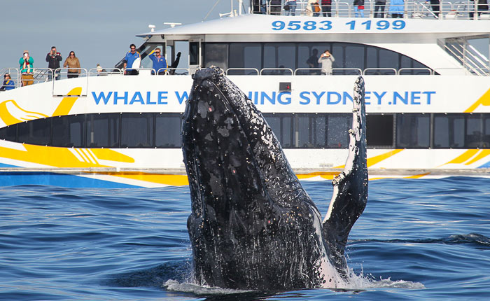 Whale Watching Sydney, 3hr Discovery Cruise