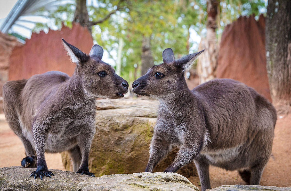 Kangaroos at Wildlife Sydney Zoo