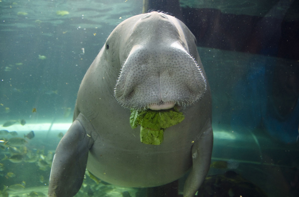 Dugong at Sydney Aquarium