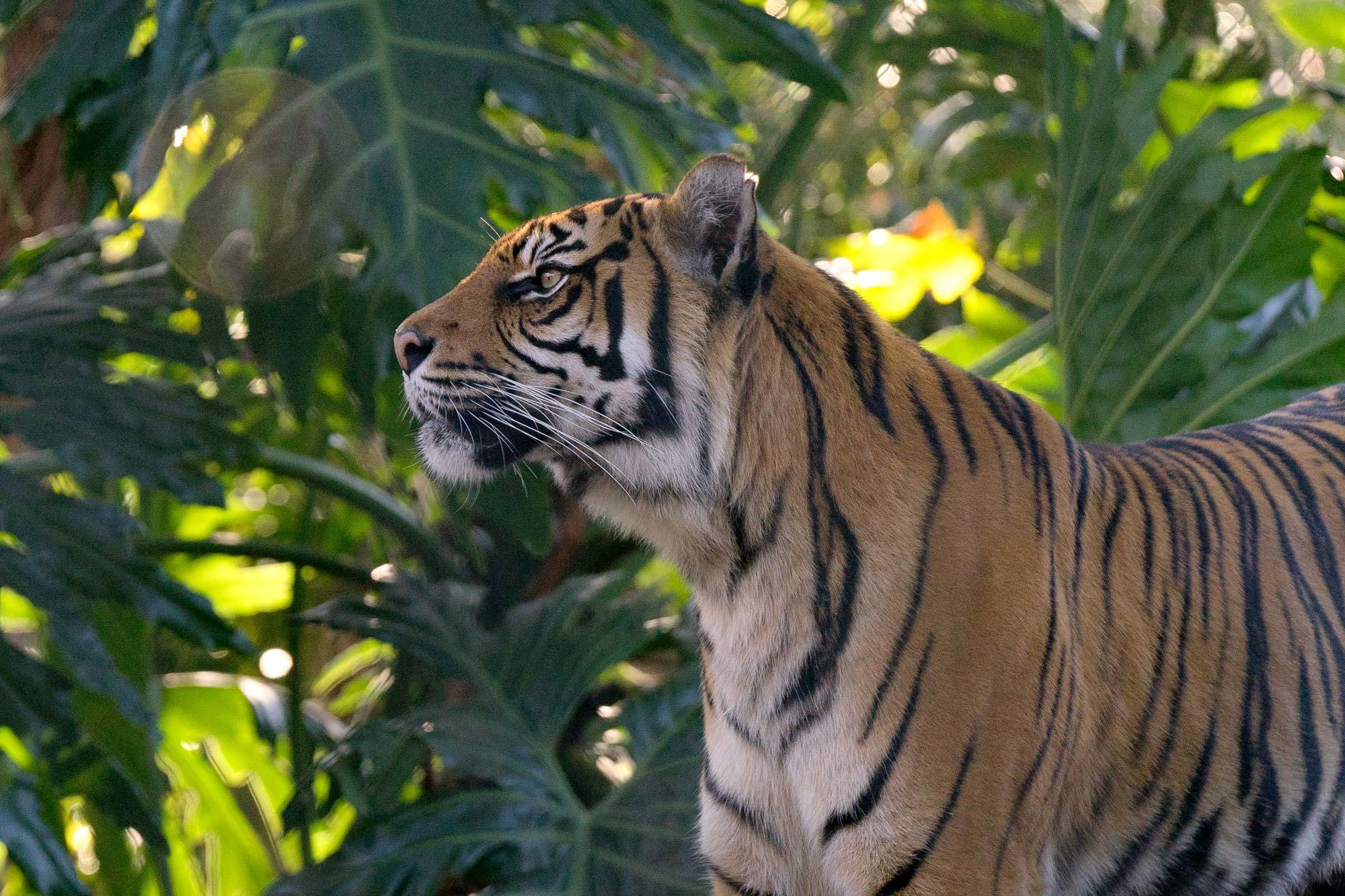 Tiger at Taronga Zoo