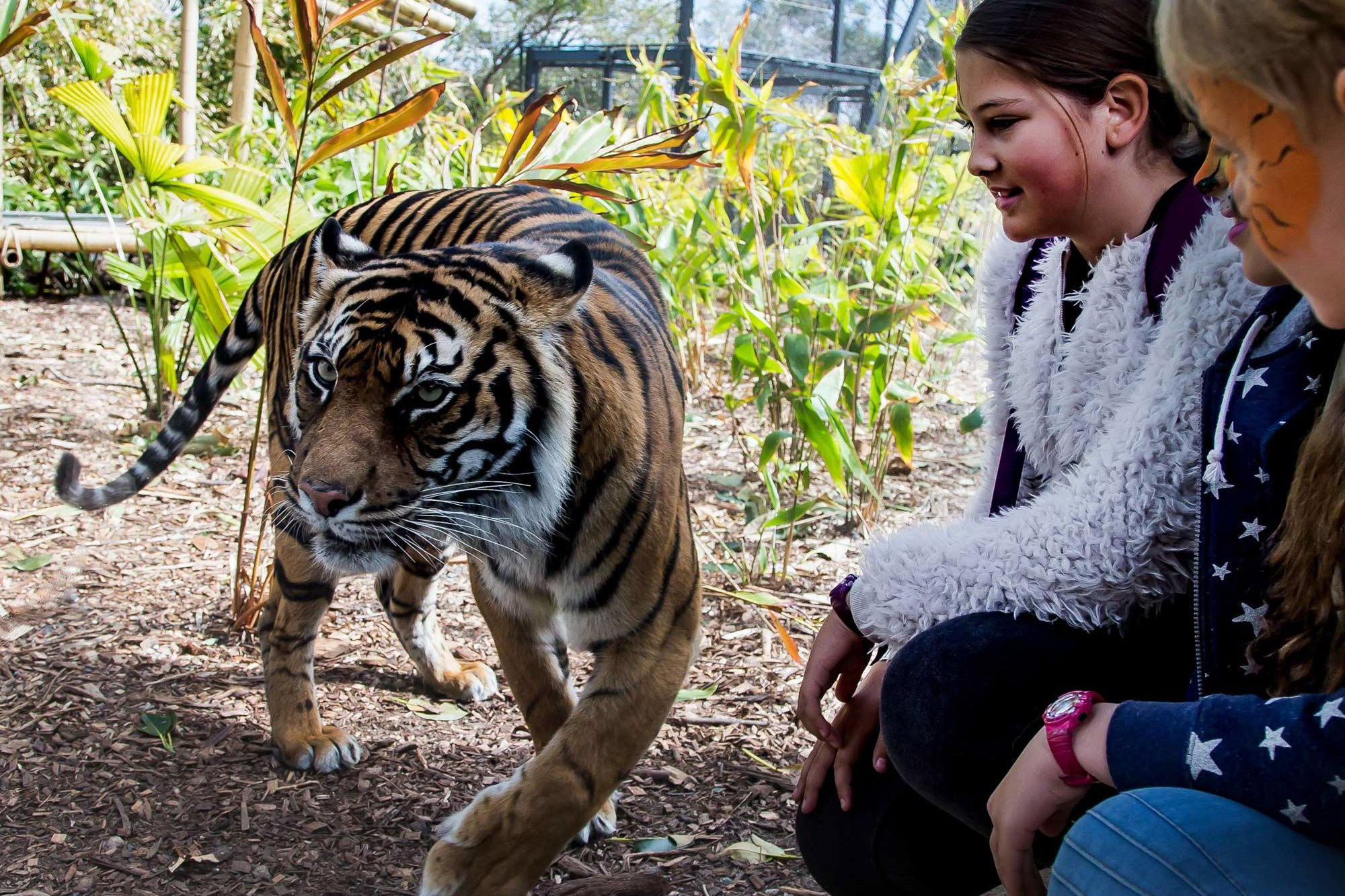 Tiger encounter at Taronga Zoo